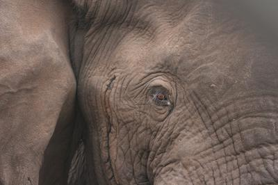 Anj eye to eye contact with an elephant bull.