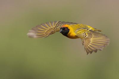 Southern-masked Weaver