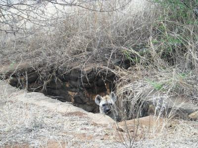 Playing hide and seek near Skukuza entrance