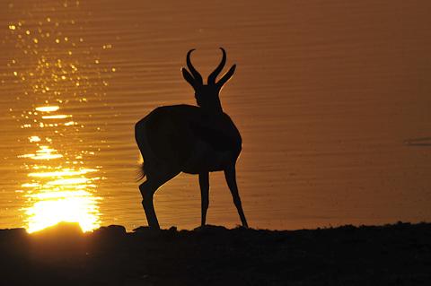 springbok silhouette at Okaukuejo waterhole in etosha