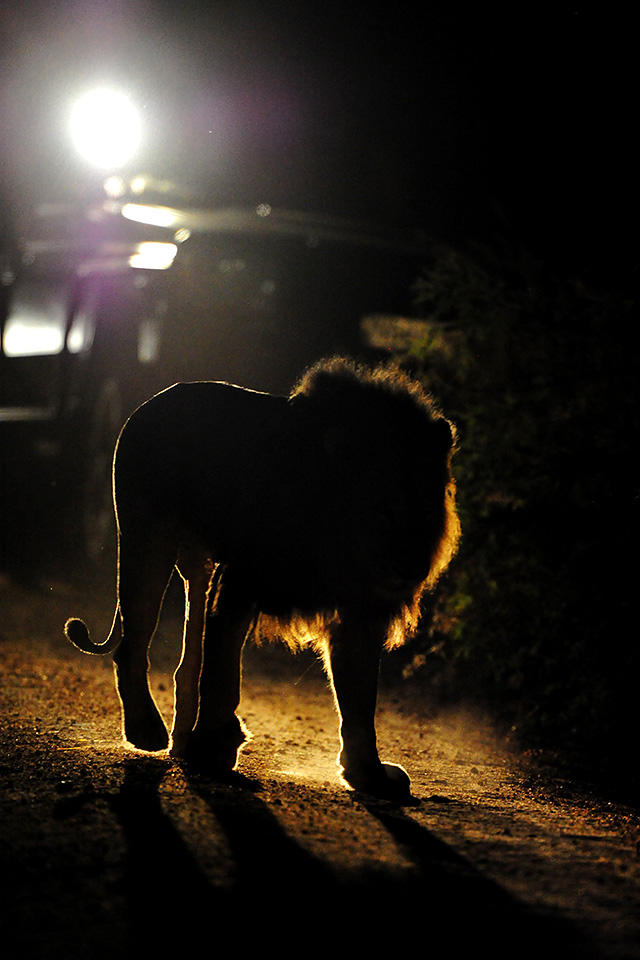 Male lion on night drive at Cheetah Plains lodge