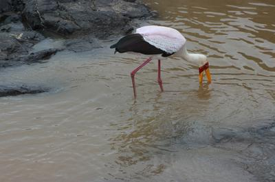 Yellow billed stork sweeping the water.