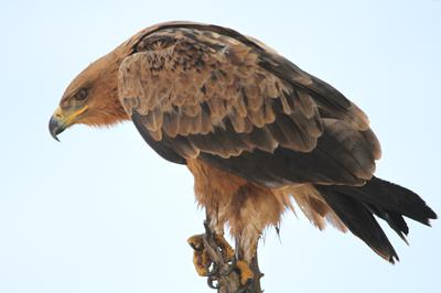 Tawny or Vulture?