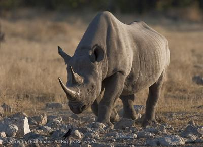 Black Rhino at Goas waterhole, Etosha