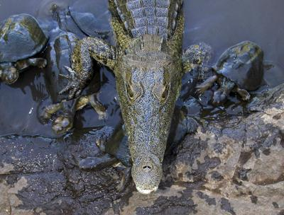 Croc and terrapins waiting