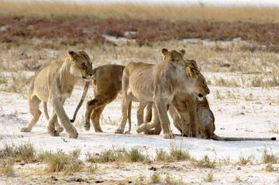 The young male lions leave