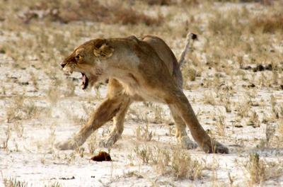 The older lioness stands her ground