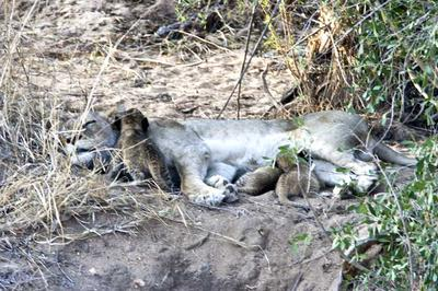 Lion with young cubs feeding 1