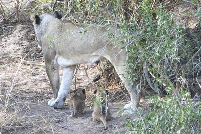 Lion with cubs 3