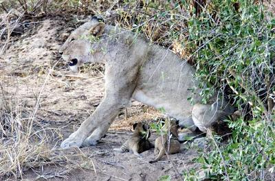 Lion with cubs 4