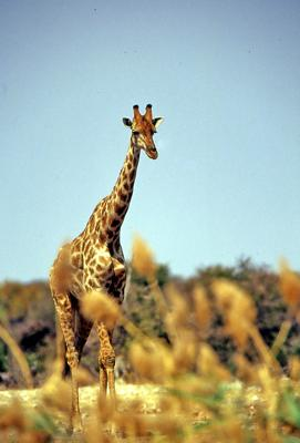 Giraffe at Chudop