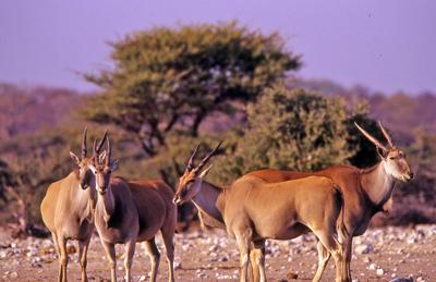 Eland at Kalkheuwel waterhole
