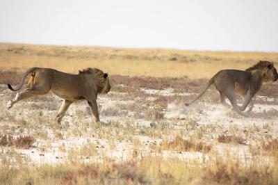 The other two male lions come to the rescue