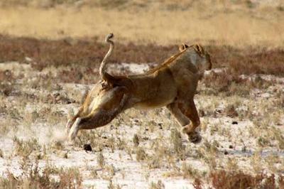 Lioness retreats