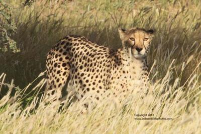 First there was 1 cheetah