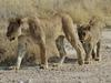 Lion cubs at Okondeka