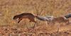 Fighting Ground Squirrels