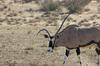 Gemsbok with horns to the left or up