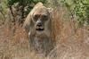 Lioness disturbed in her rest.