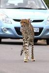 Cheetah with blue car