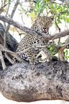 leopard in tree 2