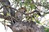 Leopard in tree 3