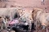 Satara lion kill 1