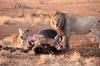 Satara lion kill 3