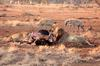 Satara lion kill 4
