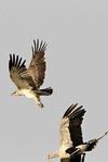 Eagle gets away
