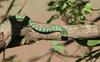 Green tree snake at Duke waterhole.