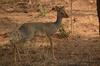 Male antelope