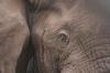 Anj eye to eye contact with an elephant bull.