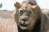 What are you looking at, Lion on the road on the H10 and S128 junction.
