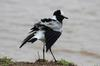 Blacksmith Lapwing having its feathers ruffled by the wind.