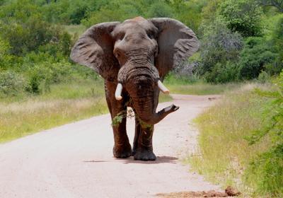 Elephant near Malalane