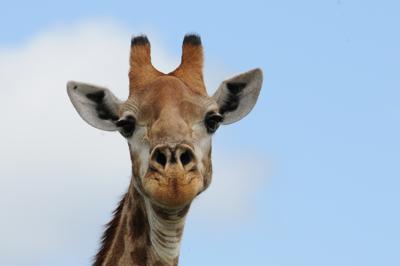 Giraffe at Berg en dal