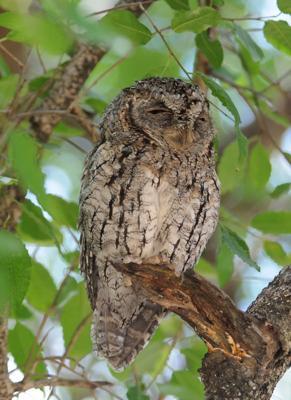 Skops owl at Afsaal