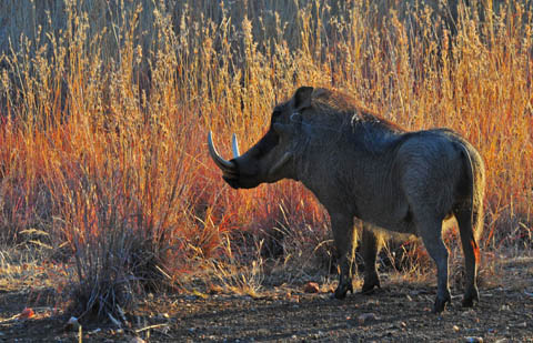 Large tusk warthog in pilanesberg