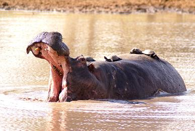 Hippo and Turtles, Girivana, WH.