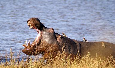 Hippo, Nhlanganzwane Dam