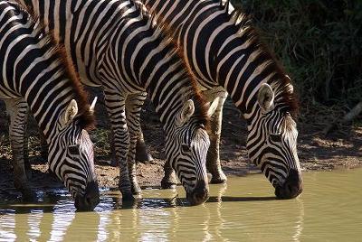 Zebra, Duke , WH.