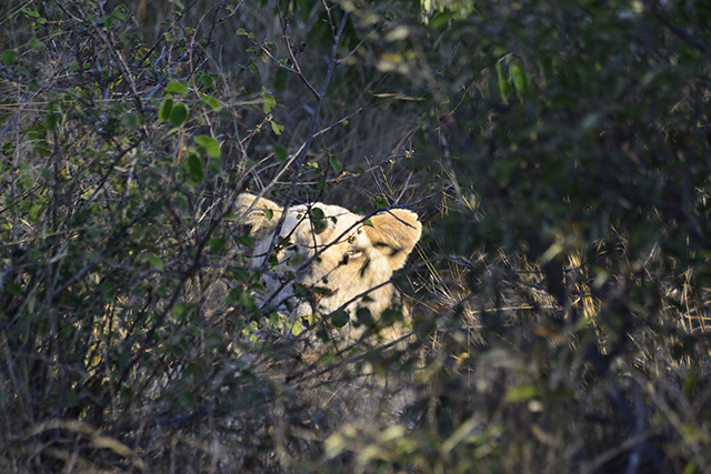 peeping white lion of Timbavati