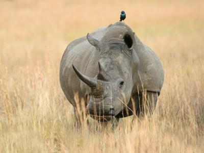 White Rhino and Glossy Starling