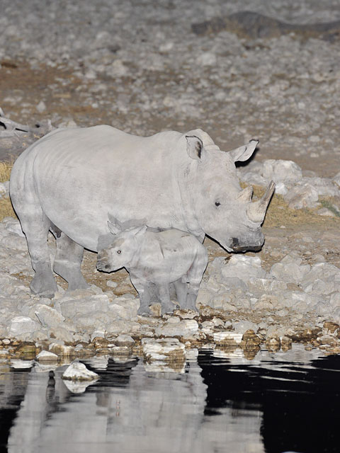 white rhnio mother with baby in Etosha