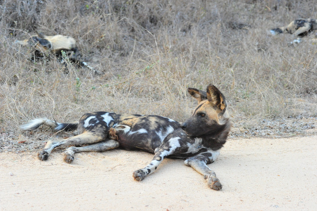 wild dog on the S65 In the Kruger National Park