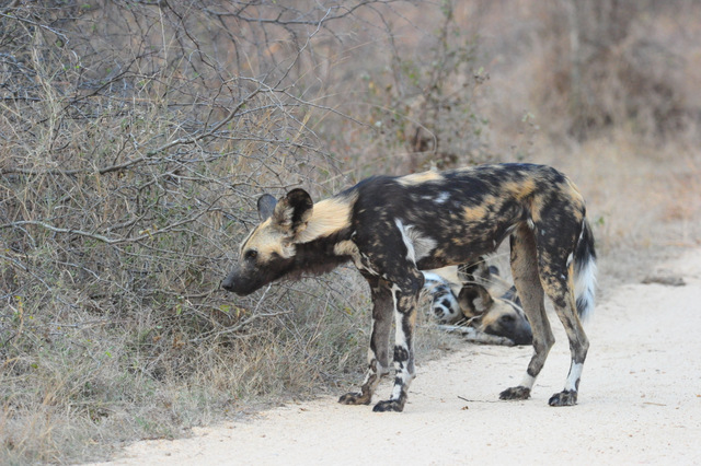 wild dogs in road near Paul Kruger Gate