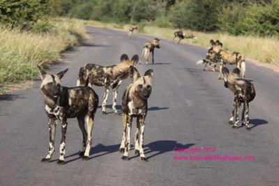 Ten wild dogs in the road