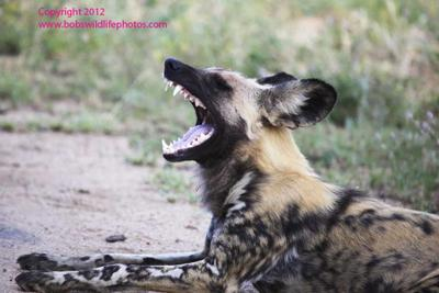 african wild dog 3