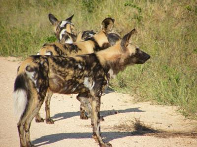 Wilddogs on the Sabie River Road